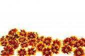 Cabeças de flor de calêndula sobre fundo branco