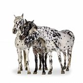 image of appaloosa  - Appaloosa horse in front of a white background - JPG