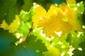 Vine leaves background