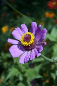Zinnia Flower In Spring Blossom, Closeup View Of Spring Zinnia Flower. Flower Spring Background With poster