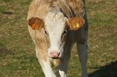 stock photo of hereford  - Young brown and white Hereford calf in a field - JPG