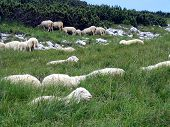 Sheep Herd In The Mountains