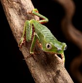 frog with big eyes on branch of a tropical tree in amazon rainforest. Macro of beautiful night anima