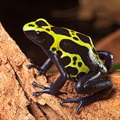 poison frog or dart frog with bright vivid colors beautiful amphibian pet of the amazon rain forest Dendrobates tinctorius a poisonous animal