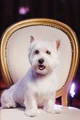 Cute West Terrier Dog Resting On A Leather Chair. Advertising Grooming And Caring For Dogs. West Hig poster