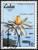 Nymphaea Ampla