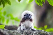 A Cotton-top Tamarin Monkey On A Tree Brunch In Zoo poster