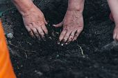 Female Hands Plant A Green Plant In The Ground. On His Hands A Shadow From The Net. Hands In Pattern poster