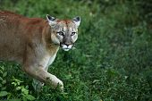 Portrait Of Beautiful Puma. Cougar, Mountain Lion, Puma, Panther, Striking Pose, Scene In The Woods, poster