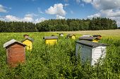 Beehives On Field In Poland