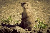 picture of gopher  - Gopher - JPG