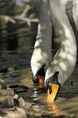 Scene Of Swans