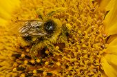 Close Up Of A Shaggy Bumblebee On A Sunflower Sprinkled With Yellow Pollen poster
