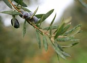 picture of olive branch  - an olive branch with ripe olives  - JPG