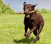 Brown Labrador Running With A Stick