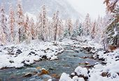 Siberia, Altai Krai, Autumn Larch Trees On The Banks Of The River And Stones Covered With Snow, In T poster
