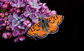 Beautiful Red Butterfly On A Flower On A Black Background. Lilac Flower In Water Drops Isolated On B poster