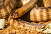 The Woma Python Is A Species Of Snake In The Family Pythonidae. The Species Is Endemic To Australia. poster