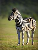 Zebra on green plains of Addo National Park - South Africa