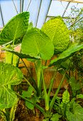 Giant Taro Plant In A Tropical Garden, Popular Specie In Horticulture poster