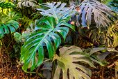 Leaves Of A Swiss Cheese Plant In Closeup, Nature Background, Popular Tropical Plant Specie From Ame poster