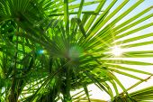 Tropical Palm Leaf Background, Coconut Palm Trees Perspective View. Background Of Palm Leaves And Su poster
