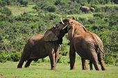 picture of terrestrial animal  - Two Elephants fighting in the Addo Elephant National Park South Africa - JPG