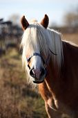 Portrait of a beautiful haflinger gelding