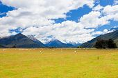 Sheep, peaks and Mt Aspiring NP, Southern Alps NZ
