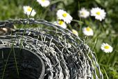 Roll Of Barbwire And Daisy Flowers