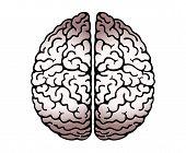 Vector Outline Illustration Of Human Brain On White Background. Cerebral Hemispheres, .convolutions  poster