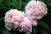 Beautiful Pink Peony Background In Vintage Style. Beautiful Flowers, Peonies. A Bouquet Of Pink Pawn poster