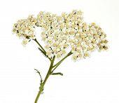Milefólio Achillea millefolium