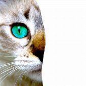 Close Up View Of Cat With Green Eyes. Cut Feline Portrait Isolated On White Background. Pets And Lif poster