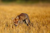 Red Fox (vulpes Vulpes) On Freshly Mown Stubble With Caught Rodent. Red Fox With Prey In Teeth. Fox  poster