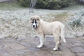 Cute Caucasian Shepherd Puppy. Caucasian Shepherd Dog Is 4 Month. poster