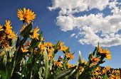 Sunflowers And Cloudy Sky