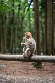 Portrait Of A Monkey Sitting On Log Monkey Forest Germany Close Up Fluffy Cute Small Baby Copy Space poster