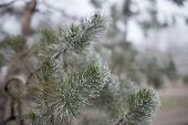 Christmas Evergreen Spruce Tree With Frost On White, Holiday Background. Pine Branch On Hoarfrost. W poster