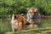 These Tigers Don't Hate The Water