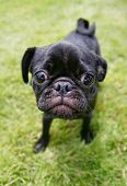stock photo of spayed  - a cute pug enjoying the outdoors - JPG