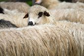 Close-up Of A Sheep Herd With One Looking Into The Camera poster