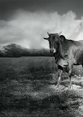 Calve In Black And White