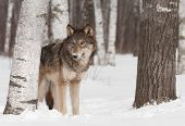 Grey Wolf (Canis lupus) Stands In Treeline