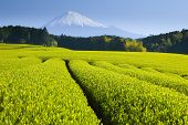 Green Tea Fields