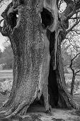 Hollow Tree - black and white.