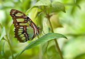 Malachite (Siproeta stelenes) butterfly.