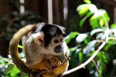 stock photo of marmosets  - Common Marmoset (Callithrix jacchus jacchus) sitting on a Branch at World of Birds