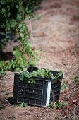 Grape Vines Baskets