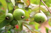 pile of guava fruit on nuture background